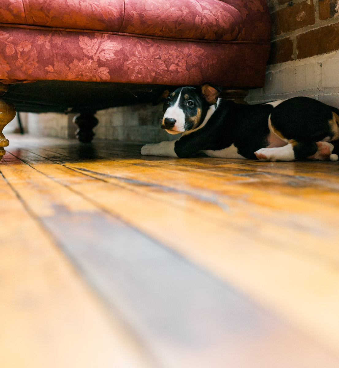 Bull Terrier Dog under the Couch