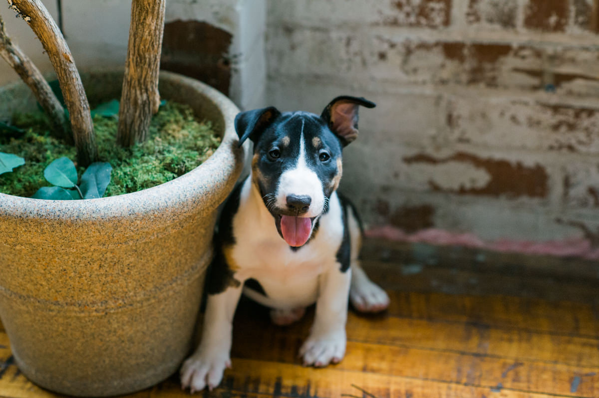 Bull Terrier Pet Photography